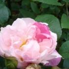 『最後にひと花咲かせましょう~冬のバラの挿し木~』の画像