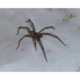 『【ゴキブリの天敵】そうだ。我が家のアシダカグモ君を紹介しよう。【ゴキブリ退治】』の画像
