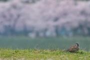 春だし撮った桜の写真あげてく