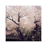 『桜を見る余裕なし(笑)』の画像
