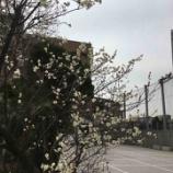 『梅の花が咲いてます』の画像