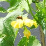 『ヘチマとハチ』の画像