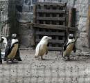 【ポーランド】希少なアルビノの赤ちゃんペンギン、動物園で一般公開 飼育下では世界に1羽