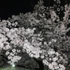 『夜桜』の画像