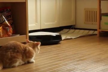 マンチカンとルンバのあくなき戦い…。かわいい猫動画