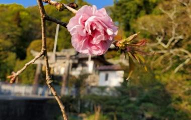 『天皇陛下即位記念桜植樹_桜開花』の画像
