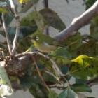 『目白(メジロ) ~庭に来る野鳥~』の画像