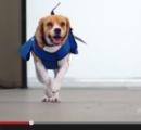オランダ空港ではビーグル犬が落し物を届けるよ! ← 嘘だよ!