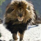 『復活したバーバリーライオンと人間の増上慢と謙虚さ』の画像