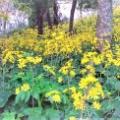 黄色の花が綺麗~「つわぶき」
