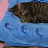 『【猫】台湾で猫の全抜歯手術をしたら飼い主が詰んだ〜「ぺろ」の口内炎治療に考えさせられた物価のバランス〜【長文】』の画像
