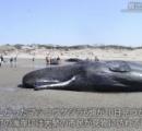 クジラ打ち上げ 海岸に見物客詰めかける 南さつま