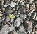 キラウェア噴火でハワイ島に宝石の雨が降る。$450/1カラット