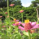 『百日草』の画像