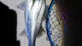 【朗報】シーバスさん、釣れる(※画像あり)