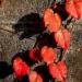 身近の紅葉
