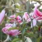 『【ピノ子日記】8月の庭と人生初ドイリーを編む』の画像