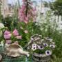 *桃色タンポポの綿毛♡|小庭のふりふりペチュニアとインパチェンス