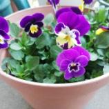 『《ビオラに違う種類の花がつく理由は?先祖返りとは》』の画像