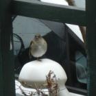 『シロハラ(白腹) ~庭に来る野鳥~』の画像