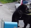 クマ2頭が住宅街で殴り合い ニュージャージー州(動画あり)
