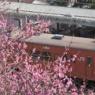 日野駅の梅 Hino