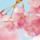 『【大阪】「バキッと音聞いてスカッと」名所の桜60本の枝を折った引きこもり男の〝破壊衝動〟』の画像