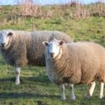 「グレーの羊を洗ってみたら…」→「驚きの白さになった」