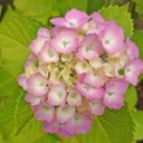 『【写真】 Xperia5  地元の梅雨、梅雨の花。2 ~菖蒲園~』の画像