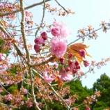 『八重桜が咲き始めました!』の画像
