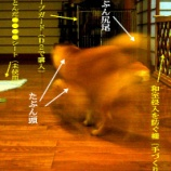 『柴犬』の画像