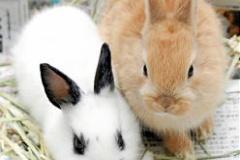 猛暑でうさぎの入荷不足、ミニウサギが7,000円台に高騰