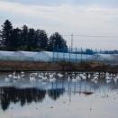冬水田んぼの白鳥がさらに倍増してました・・・