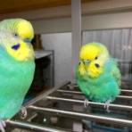 幸せの黄色い鳥と青い鳥