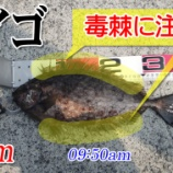『40cmのアイゴ!柳井市の黒鯛(チヌ)釣り #044』の画像