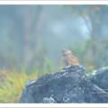 エゾナキウサギ 霧の中