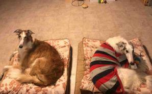 のんびり過ごす「老犬」2匹の1日