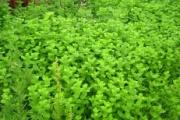 カメムシ、ミントで撃退可能、庭にミント植えとけ