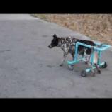 『ピンクのガネーシャの近くにいたのは車いすの犬』の画像