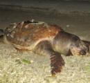 「1mのウミガメの死体見つけた」 海岸を偶然通りかかった親子、ウミエラ館に駆けつけ報告