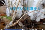 モワモワ〜って増えてくる感じ!『シモバシラに霜柱』ができるレアな映像が植物園FBで観れるぞ!