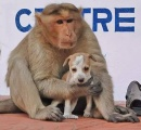 【画像】子犬を世話するサルがインドに出現