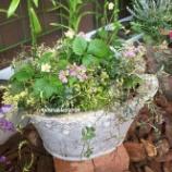 『ワイルドストロベリーとジャスミンの寄せ植えをピッチャー型テラコッタに植えてみました。』の画像