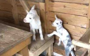 生後6カ月を迎えた2匹のヤギ