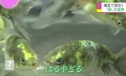 【朗報】ついに緑色の金魚が発明される