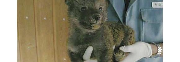 【画像あり】オオカミの赤ちゃんがかわいい