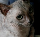 【画像】世界で35匹 超希少 おおかみ男ネコ「ライコイ(Lykoi)」、公園で見つかる 南アフリカ