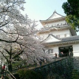 『小田原城 桜満開!』の画像