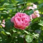 『初夏の庭に美しくたおやかに咲くイングリッシュローズ写真集』の画像