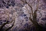 桜のシャワー!星のまちに夜の空から桜がふってくる? 〜交野さんぽ85〜